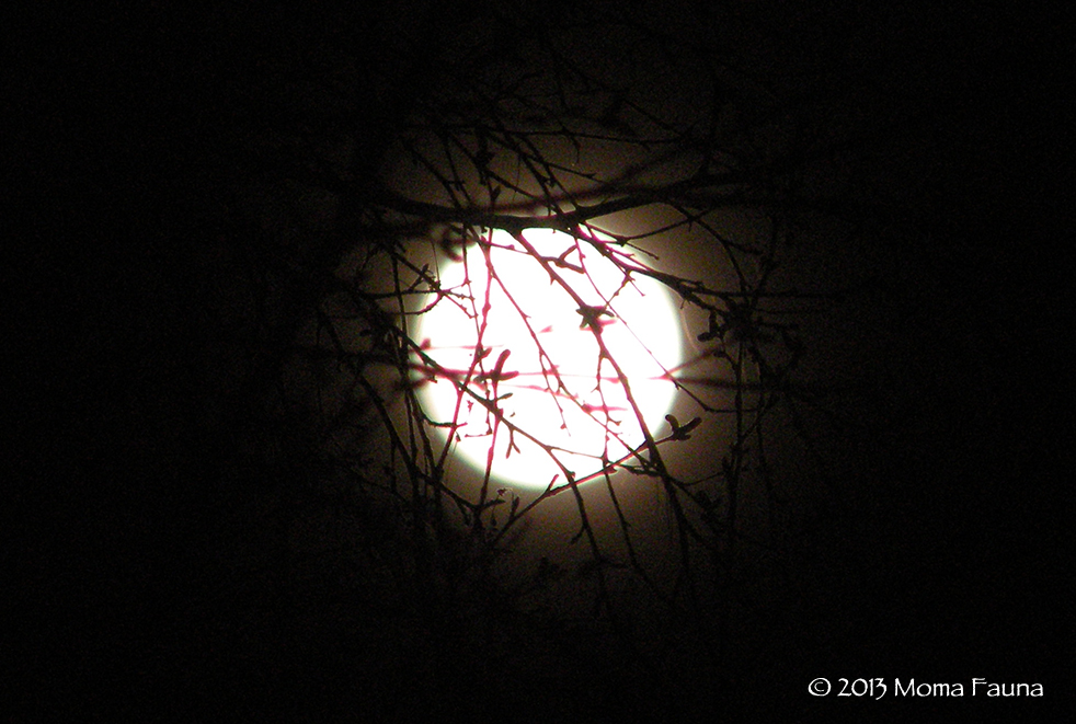 February's Cold, Snow, Chaste, Hunger... Waiting Moon. Poised for the Quickening. Those buds are waiting too.