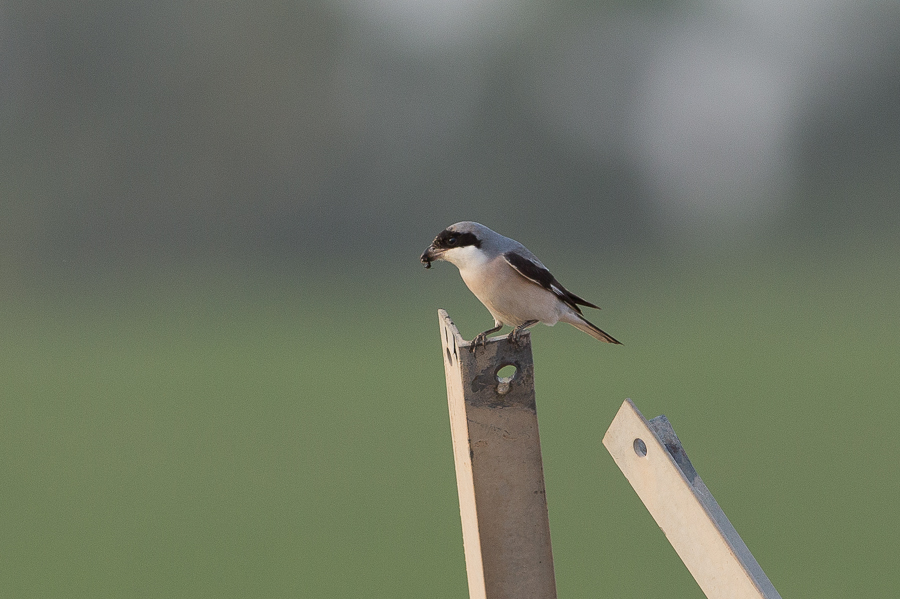 Lesser Grey Shrike - adult