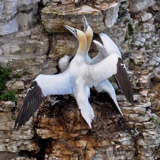 adult gannets on cliff nest with chick