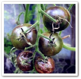 видео урок Как спасти помидоры от фитофторы