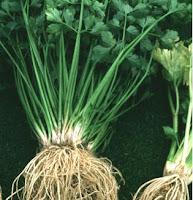 khasiat daun seledri