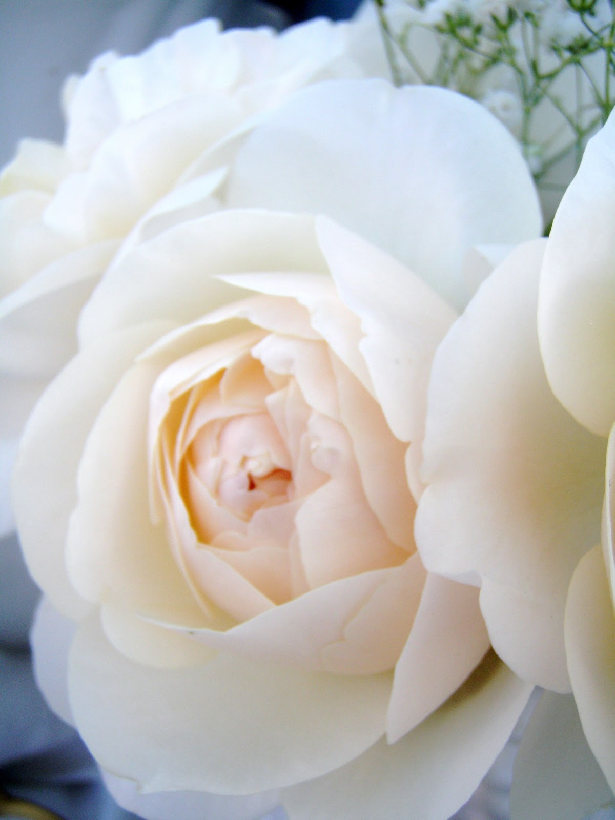 brides dream rose