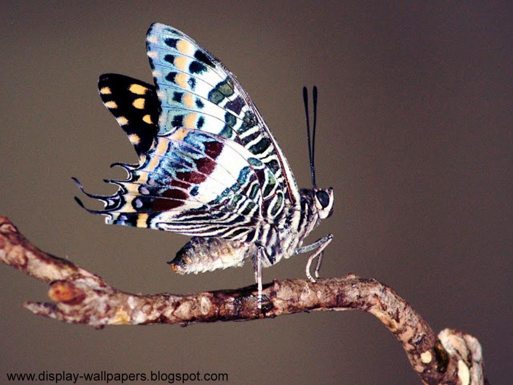 http://1.bp.blogspot.com/-cfrE64c3Ulo/UJjp-H7nm5I/AAAAAAAAES4/A9hIvPFwwxk/s1600/Butterfuly-Desktop-Wallpaper-HD-5.jpg