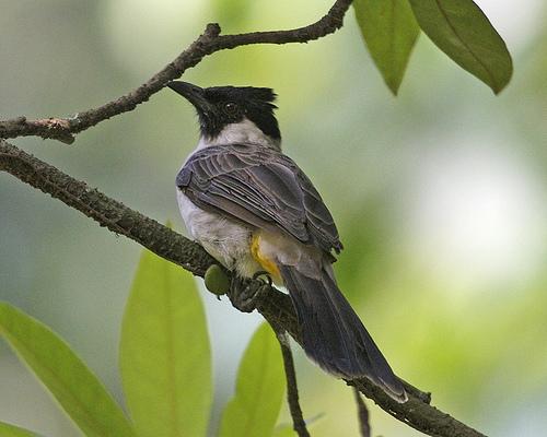 Burung Kutilang Terbaru