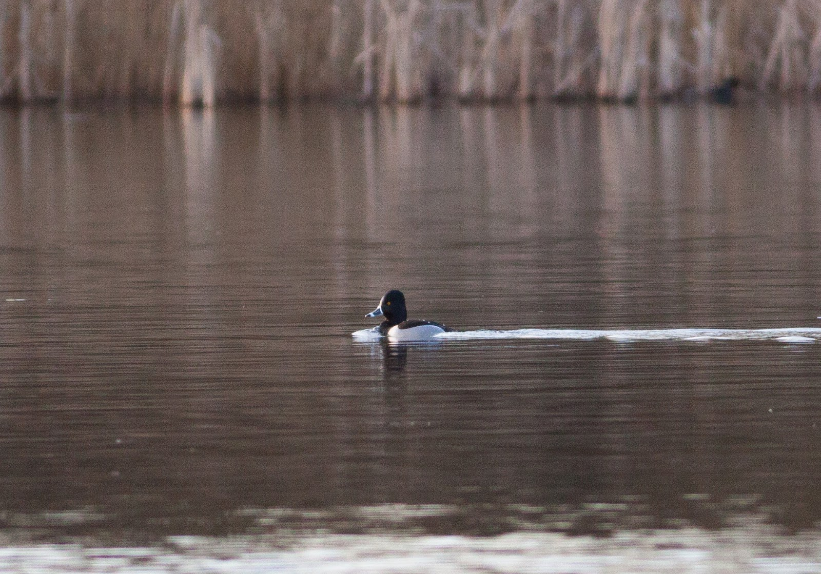 Ring-necked Duck, Priorslee Lake
