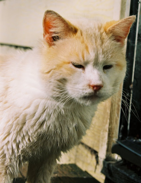 whitey the mostly white tomcat feral looks suspicious or annoyed photo