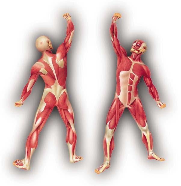 Vista del sistema muscular por la parte frontal y posterior de un individuo