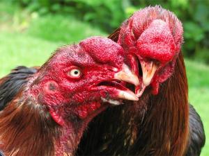 ayam berkokok