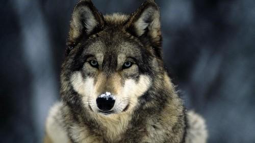 wallpaper de lobos papel de parede ~ Imagens da Internet