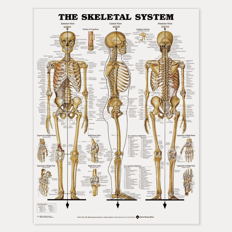 Sistem Rangka Manusia