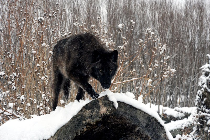 hd black wolf wallpapers 1080p high quality