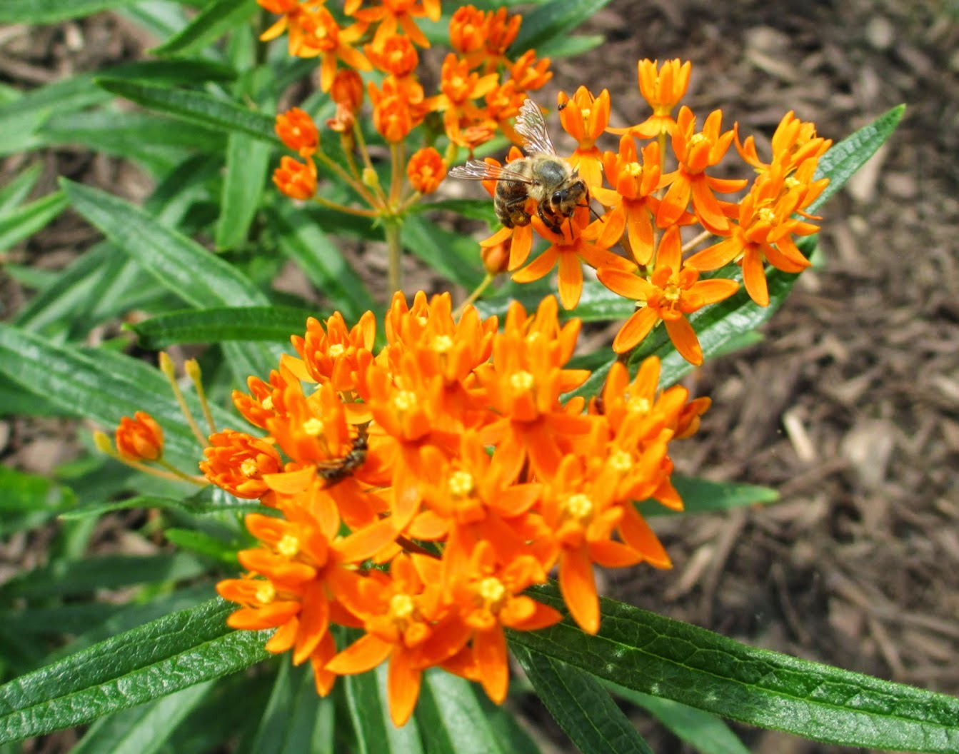 Orange flowers of Asclepias tuberosa
