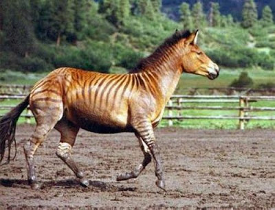 Zorse Seen On www.coolpicturegallery.us