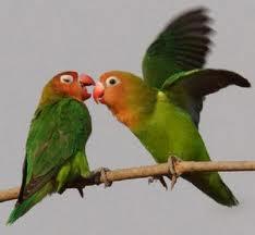 jenis lovebird kacamata nyasa