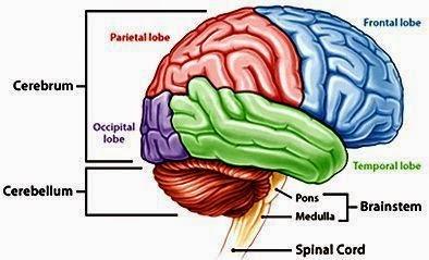 Perbedaan Otak Besar dan Otak Kecil