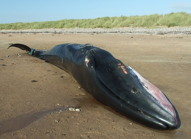 Balena esuata