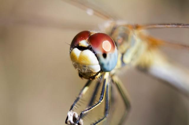 fotos de una libélula en fotosmacro.blogspot.com