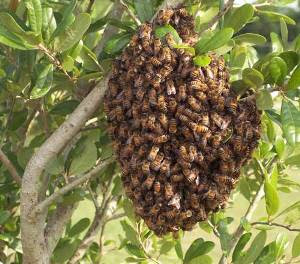 Got a Bee Swarm in Vancouver?