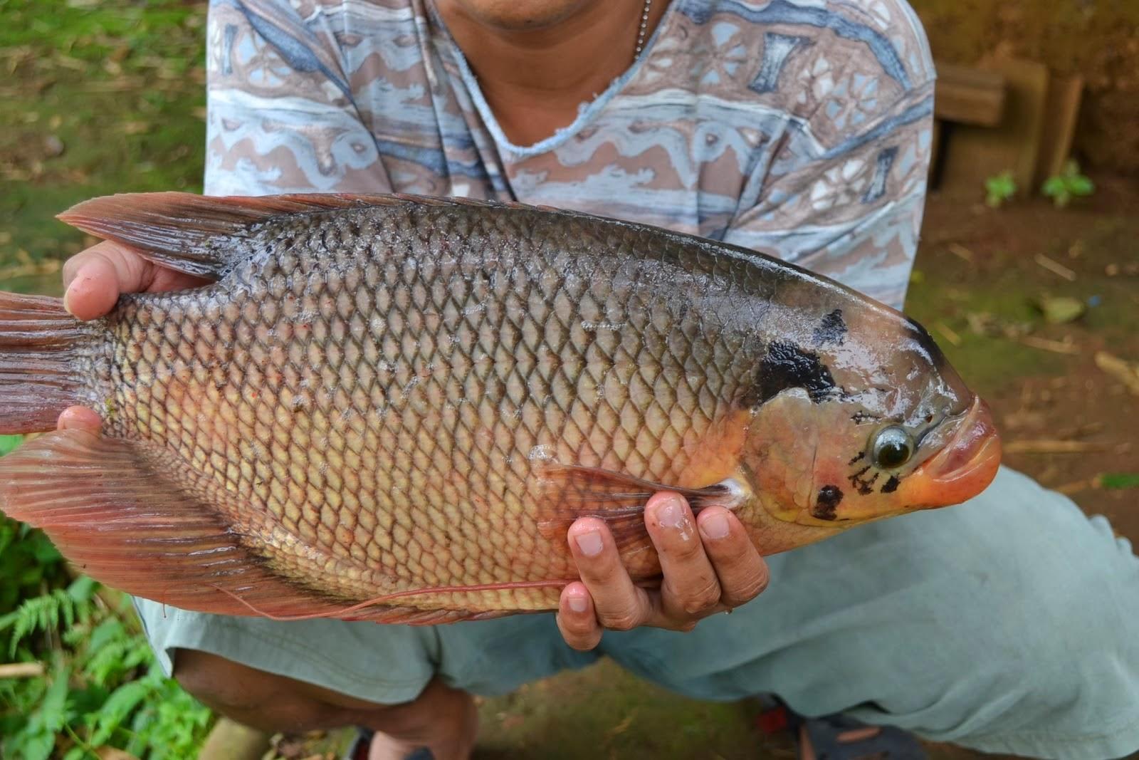 Mancing Mania Umpan Ikan Mas 1 | newhairstylesformen2014.com