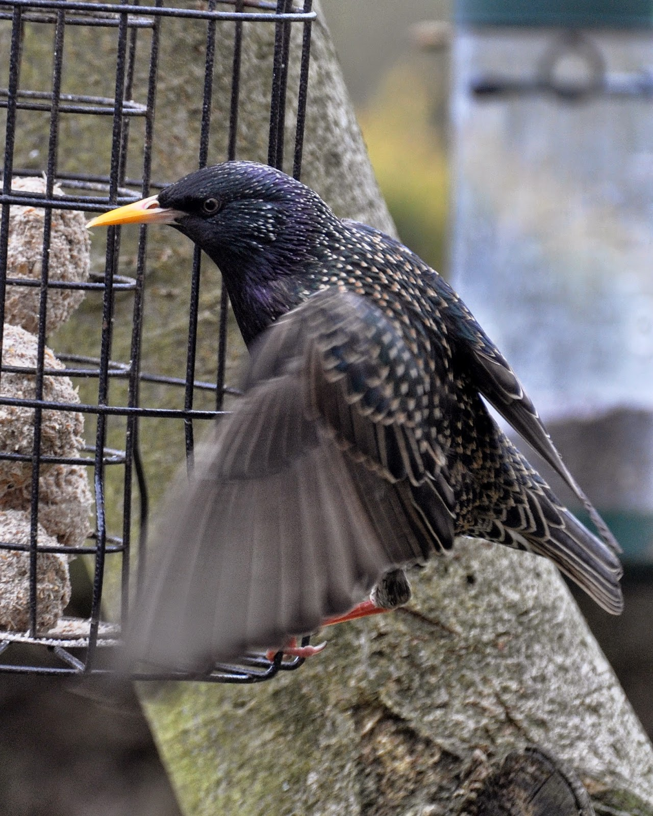 starling on bird feeder