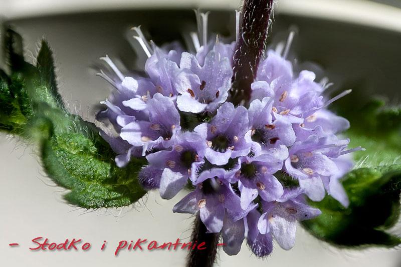 Kwiat mięty