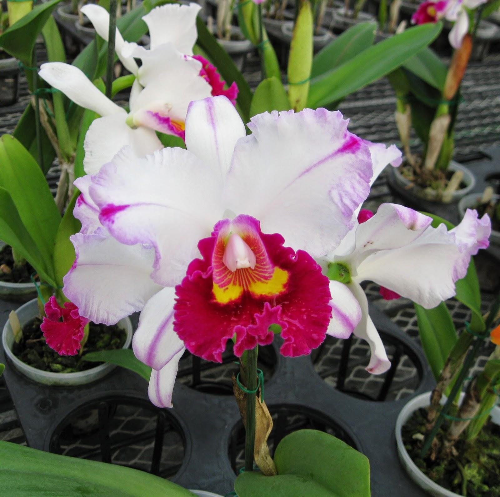 Rsc. Kuwale Gem M orchid flowers