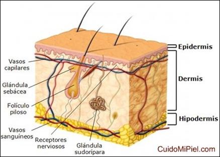 tejido tegumentario