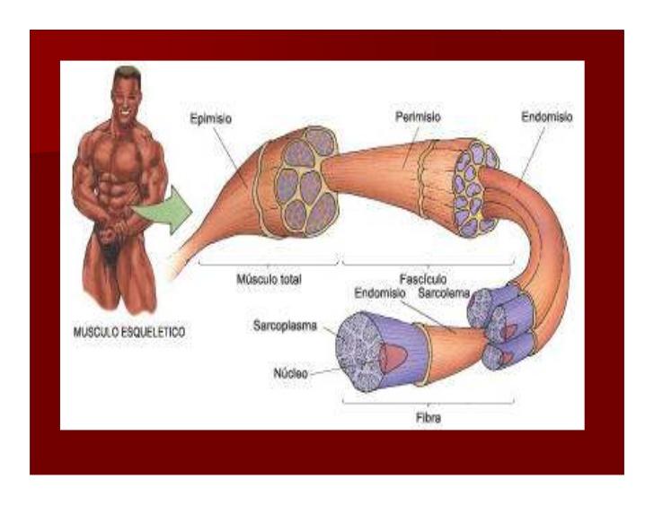 Ciencias biológicas: Tejido Muscular