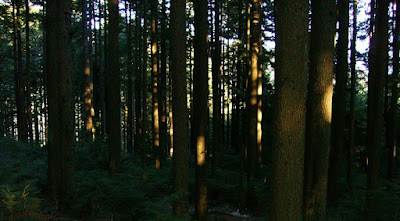 dense stand of coniferous trees