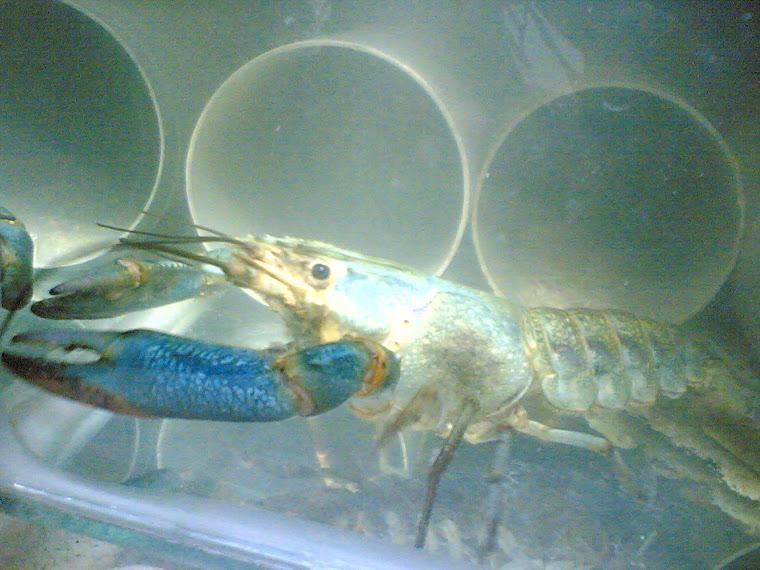 INDUK JANTAN lobster air tawar