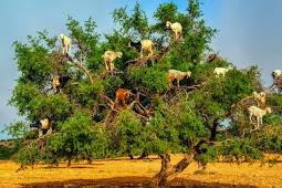 Melihat 'Pohon Kambing' yang Terkenal di Maroko