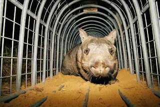 Wombat Hidung Berbulu dari Selatan (Lasiorhinus krefftii|Data 7  Hewan Langka Yang Hampir Punah