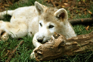 Baby Wolf New Desktop Wallpaper