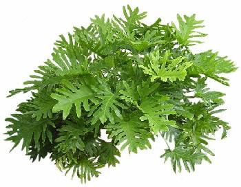 Rw paisagismo arbustiva xanadu for Planta filodendro