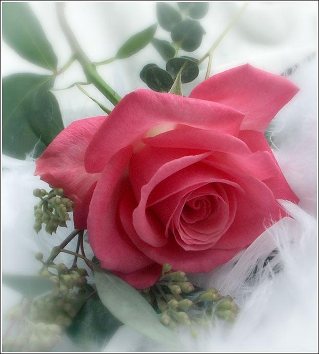 Imagenes De La Rosa Mas Hermosa}