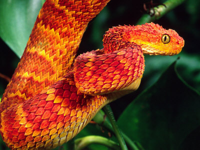 Bush Viper and Mount Kenya Bush Viper Population ~ plan