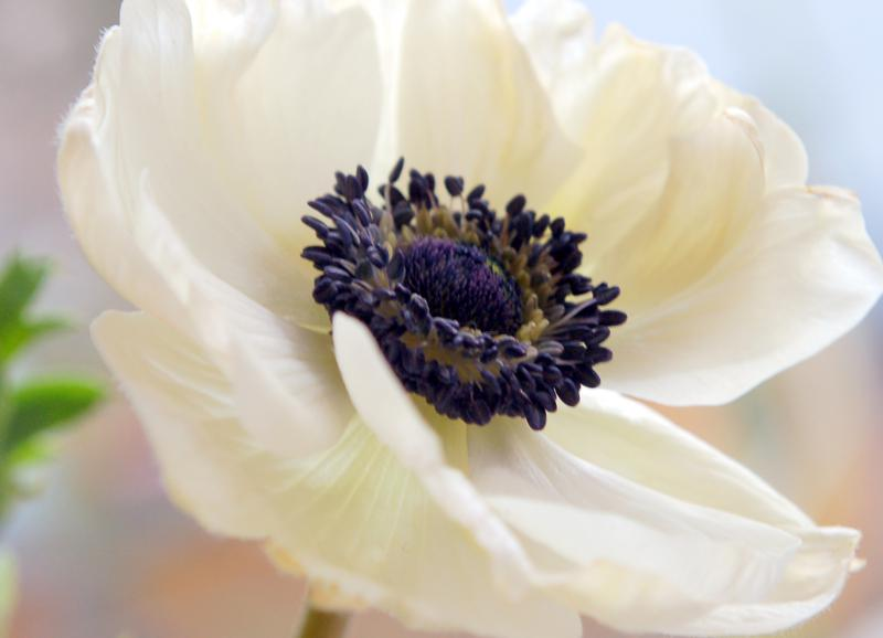 Flowers and meanings anemone flower picture and meaning anemone flower picture mightylinksfo Image collections