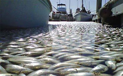 Millions of Dead Fish at King Harbor in Redondo Beach Seen On www.coolpicturegallery.us