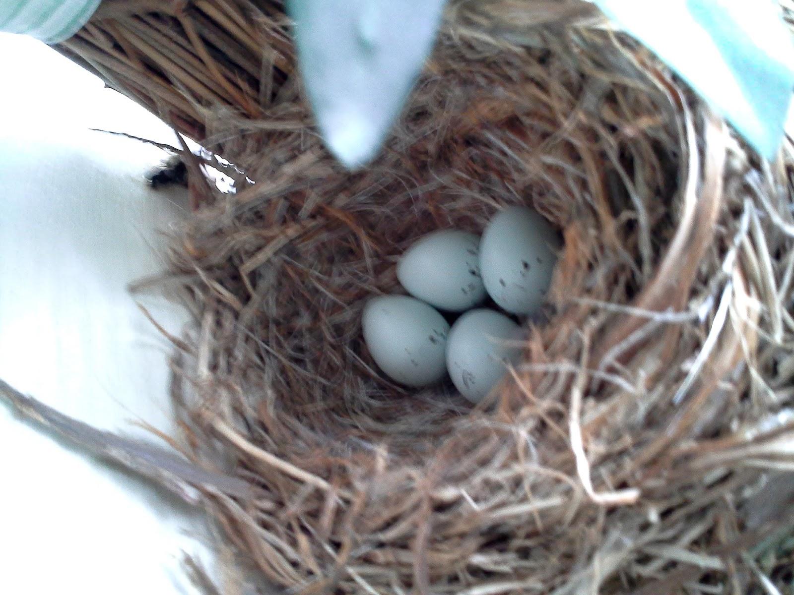 Purple Finch Nest Purple Finch Eggs | ww...