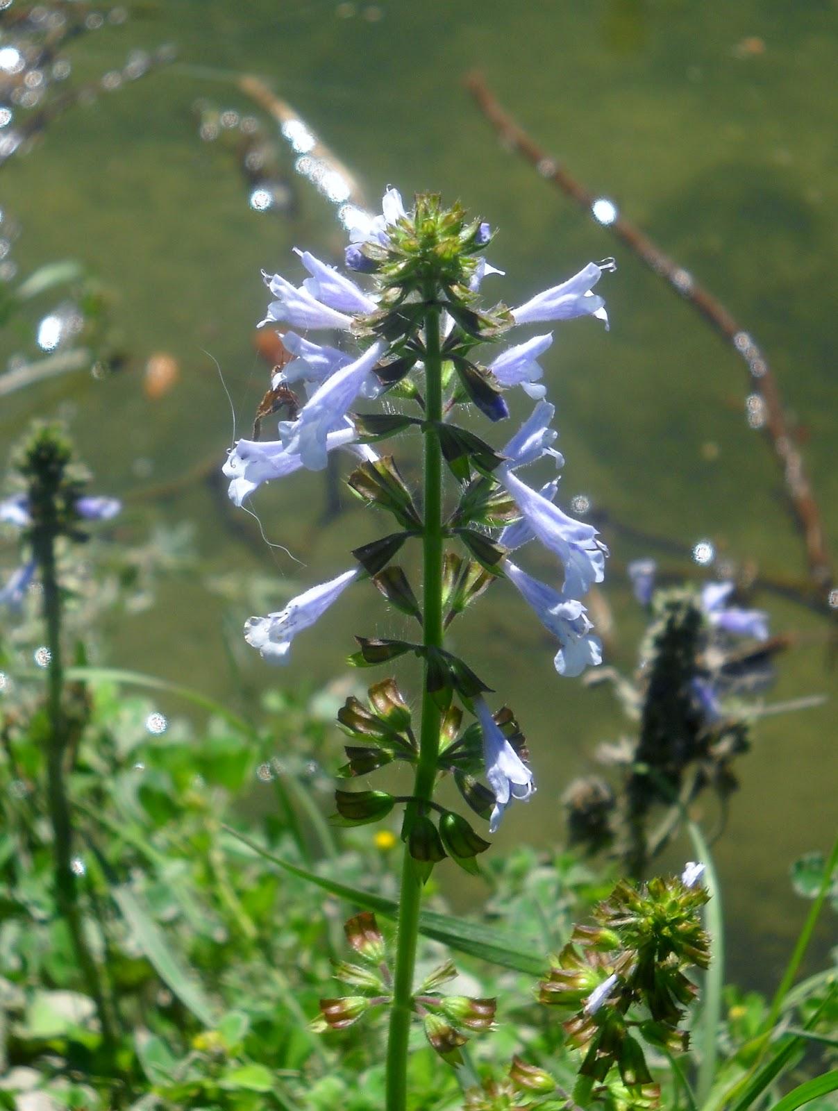 White rock lake dallas texas wildflowers start blooming at white lyreleaf sage at white rock lake dallas texas mightylinksfo