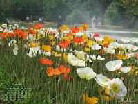 Fond d'écran juin 2011 - Les pavots du Jardin des Plantes