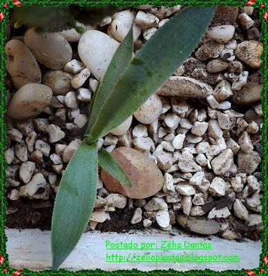 Reprodução de planta suculenta Agave