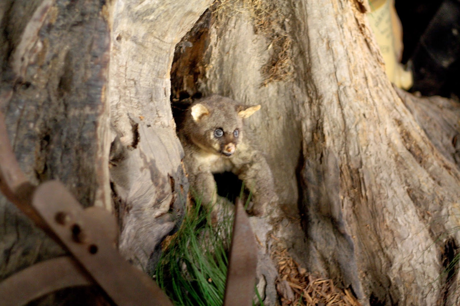 There's a taxidermied possum peeking out from a hollow in a tree.