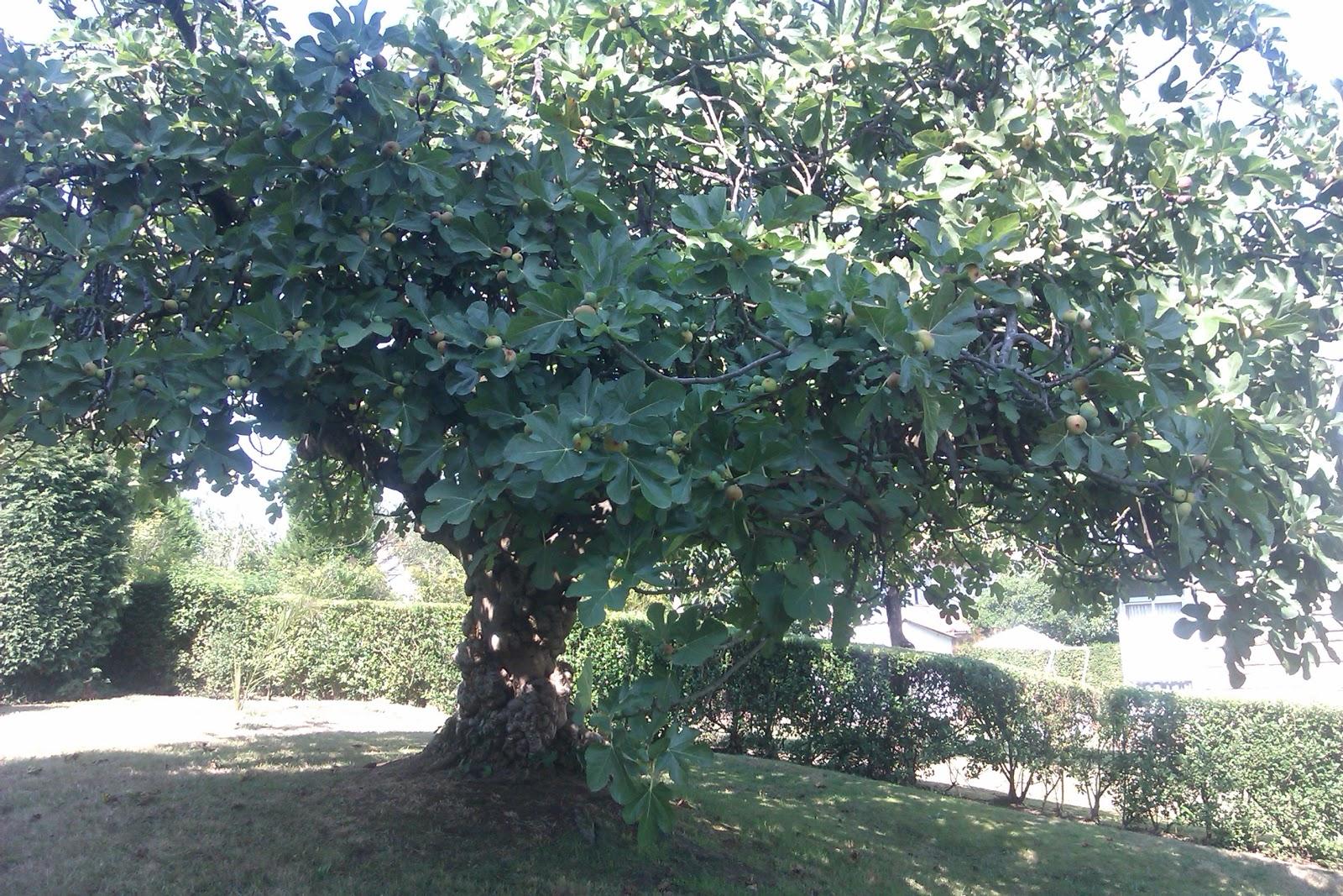 Oh gitu !: Pohon Ara, Higuera, Fig