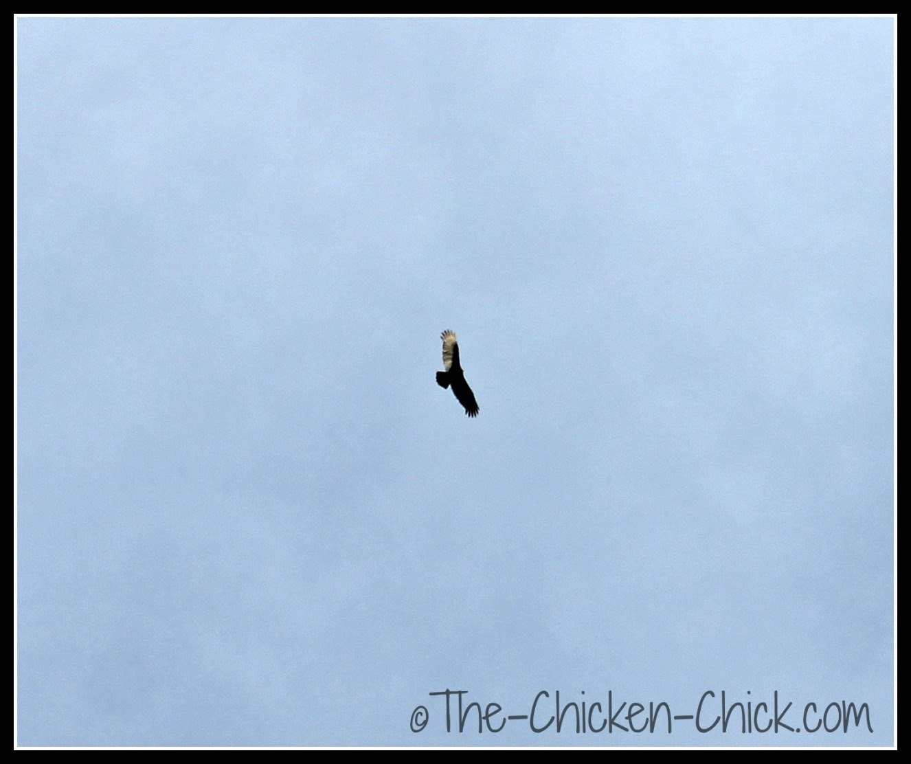 Hawk circling the chicken yard.