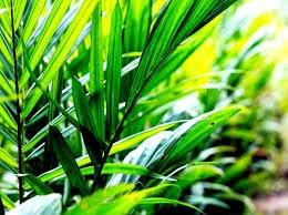 Daun kelapa sawit