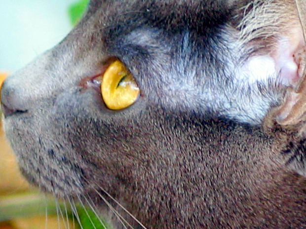 Как ухаживать за ушами кошки