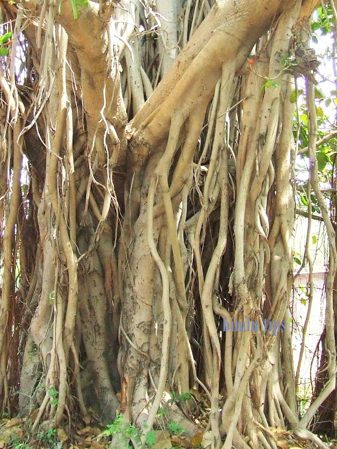 banyan tree research
