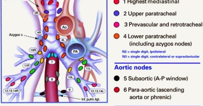 Classifying Thoracic Mediastinal Hilar Lymph Nodes Human Anatomy