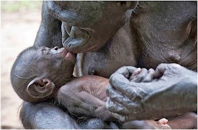 Bonobos en una actitud de relació emocional